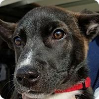 Adopt A Pet :: Sebastian - Erie, CO