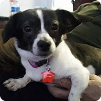 Adopt A Pet :: Snoopy Girl - Westminster, MD