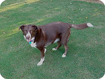 Border Collie Mix Dog for adoption in Alpharetta, Georgia - Georgia (Courtesy Post)