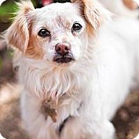 Adopt A Pet :: Beautiful Brenda - Sherman Oaks, CA
