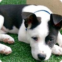 Adopt A Pet :: Willis - Gilbert, AZ