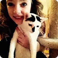 Adopt A Pet :: William White/blk Cow kitty! - McDonough, GA