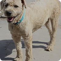 Adopt A Pet :: Clive - Norwalk, CT