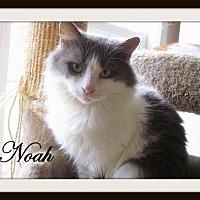 Domestic Mediumhair Cat for adoption in Culpeper, Virginia - Noah