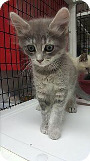 Domestic Mediumhair Kitten for adoption in yuba city, California - Carah