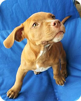 Hound (Unknown Type)/Pit Bull Terrier Mix Puppy for adoption in Wichita Falls, Texas - Beverly