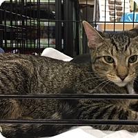 Domestic Shorthair Cat for adoption in Richmond, Virginia - Aramis