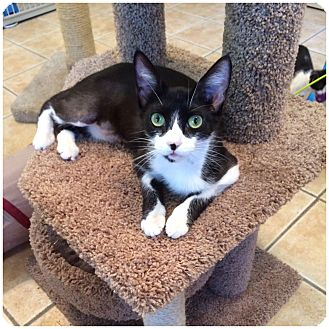 Domestic Shorthair Cat for adoption in Hamilton, New Jersey - LILY