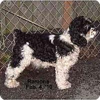 Adopt A Pet :: Ramone - Tacoma, WA