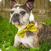 Adopt A Pet :: Nigel - Newport, KY
