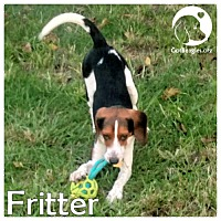 Beagle Dog for adoption in Chicago, Illinois - Fritter