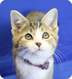 Domestic Shorthair Kitten for adoption in Winston-Salem, North Carolina - Miranda