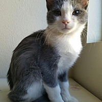 Adopt A Pet :: Spartan - Monrovia, CA