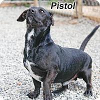 Basset Hound/Labrador Retriever Mix Dog for adoption in Batesville, Arkansas - Pistol
