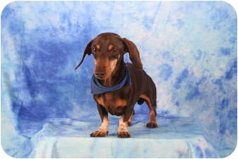 Dachshund Dog for adoption in Ft. Myers, Florida - Brownie