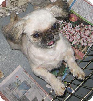 Shih Tzu/Pekingese Mix Dog for adoption in Prole, Iowa - Awsten