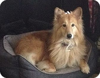 Sheltie, Shetland Sheepdog Mix Dog for adoption in Indiana, Indiana - Chloe