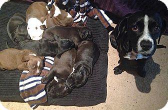 Labrador Retriever/Beagle Mix Puppy for adoption in San Francisco, California - Waya
