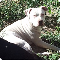 American Pit Bull Terrier Mix Dog for adoption in Oakland Gardens, New York - Teini