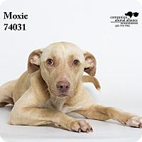 Adopt A Pet :: Moxie - Baton Rouge, LA