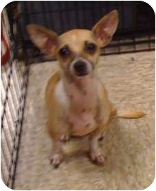 Chihuahua/Terrier (Unknown Type, Small) Mix Dog for adoption in Fowler, California - Bentley