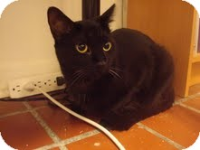 Domestic Shorthair Cat for adoption in Chicago, Illinois - Cassie