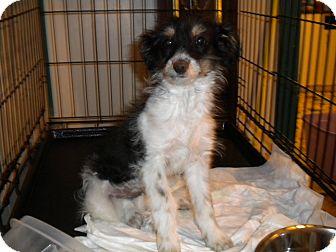 Terrier (Unknown Type, Small)/Schnauzer (Miniature) Mix Puppy for adoption in Hazard, Kentucky - Scruffy