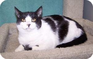 Domestic Shorthair Kitten for adoption in Colorado Springs, Colorado - K-Eva3-Jackie
