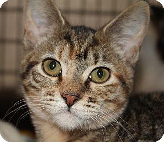 Domestic Shorthair Kitten for adoption in Grants Pass, Oregon - Maggie