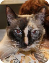 Domestic Shorthair Cat for adoption in Sacramento, California - Shay