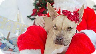 Boxer Mix Dog for adoption in Darlington, South Carolina - River