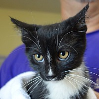 Domestic Shorthair Cat for adoption in Greenfield, Indiana - Leelah