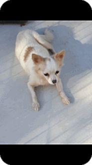 Chihuahua Mix Dog for adoption in Barnesville, Georgia - Sophia Marie
