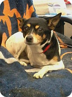 Rat Terrier Dog for adoption in Union Grove, Wisconsin - Misty