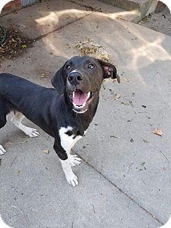 Labrador Retriever Mix Dog for adoption in Manchester, Connecticut - Waldo in CT