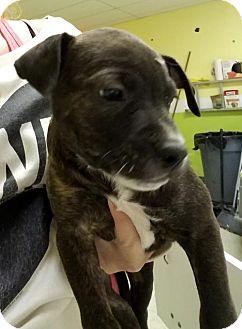 Labrador Retriever Mix Puppy for adoption in Cherry Hill, New Jersey - Gomer