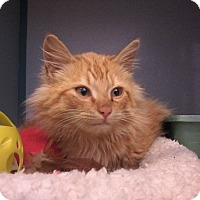 Maine Coon Kitten for adoption in Arlington, Virginia - Caleb-Fluffball