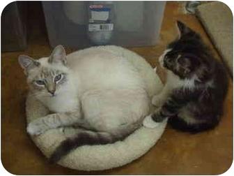Domestic Shorthair Cat for adoption in Lake Charles, Louisiana - Chris
