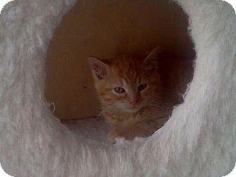 Domestic Shorthair Kitten for adoption in East Brunswick, New Jersey - Newton