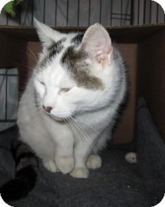 Domestic Shorthair Cat for adoption in Medford, Massachusetts - Eliza