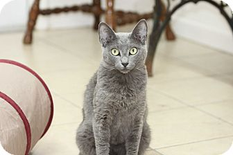 American Shorthair Cat for adoption in Ruskin, Florida - Allie
