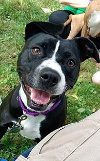 Pit Bull Terrier Mix Dog for adoption in Sharon Center, Ohio - Pinky