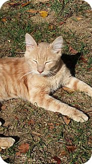 Maine Coon Cat for adoption in Louisville, Kentucky - Boo