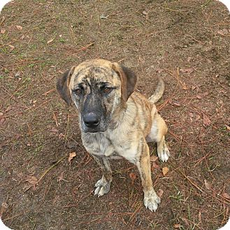 Shepherd (Unknown Type)/Labrador Retriever Mix Dog for adoption in Southport, Florida - Marie