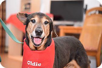 German Shepherd Dog/Doberman Pinscher Mix Dog for adoption in Edgewater, New Jersey - Marley