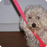 Adopt A Pet :: Amanda - Santa Barbara, CA