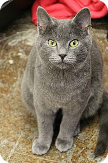 Domestic Shorthair Cat for adoption in Dunkirk, New York - Powder Puff