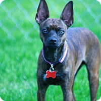 Adopt A Pet :: Zoey- HOUSETRAINED! - Salamanca, NY