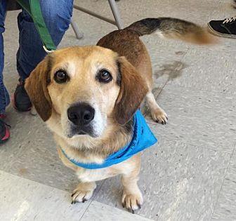 Golden Retriever/Dachshund Mix Dog for adoption in Fairfax, Virginia - Sammy *Adoption Pending*