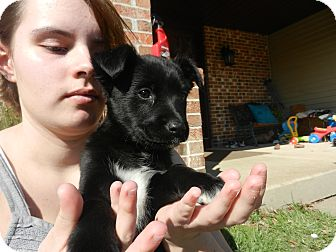 Rat Terrier Mix Puppy for adoption in South Jersey, New Jersey - Lalia